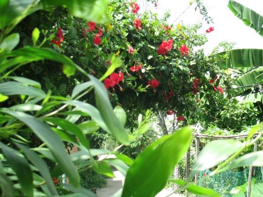 Chùm hoa dâm bụt quanh năm đỏ trĩu cành