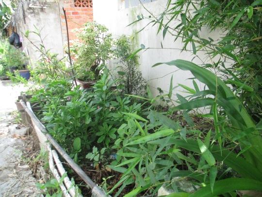 Luống rau sâm đất