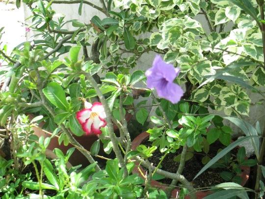 Hoa dừa và hoa tím đua tranh khởi sắc