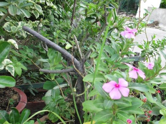 Giàn hoa dừa ngửa mặt nhìn trời