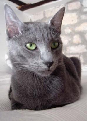 mèo Malta